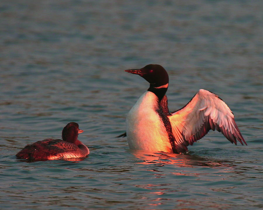 Rosy Sunset Loons by Arvin Miner