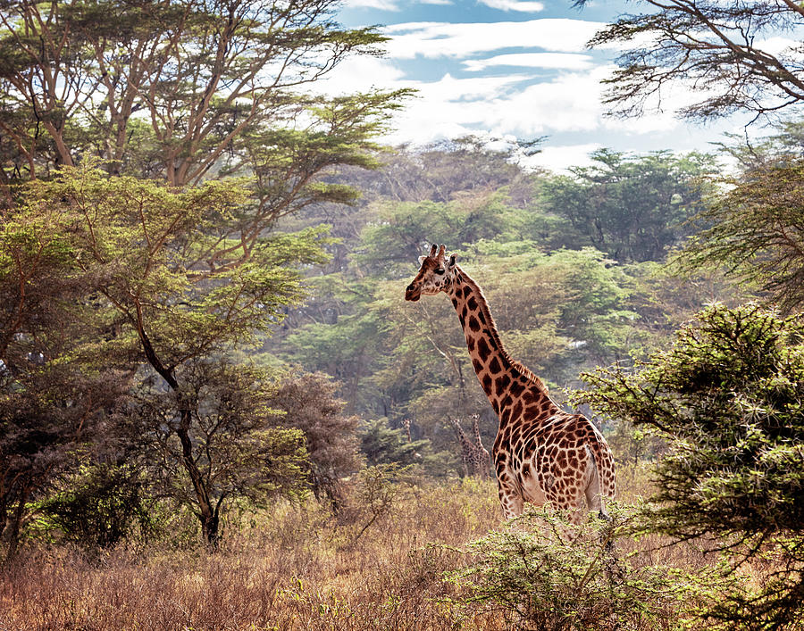 Rothschild Giraffe in Lake Nakuru Kenya by Susan Schmitz