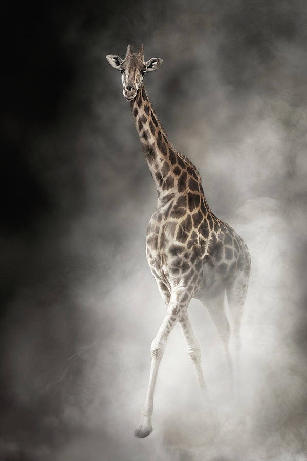 Rothschilds Giraffe In The Dust by Susan Schmitz