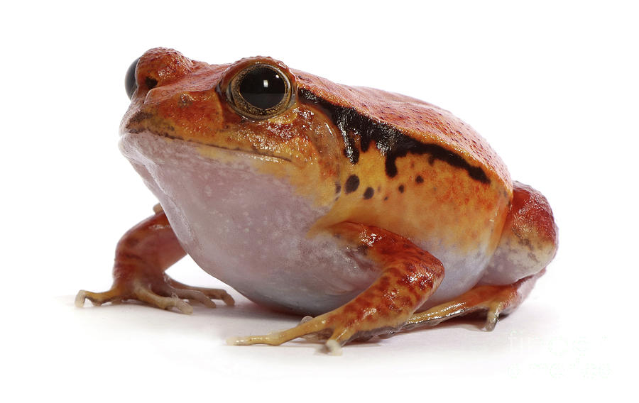 Rotten Tomato Frog by Warren Photographic
