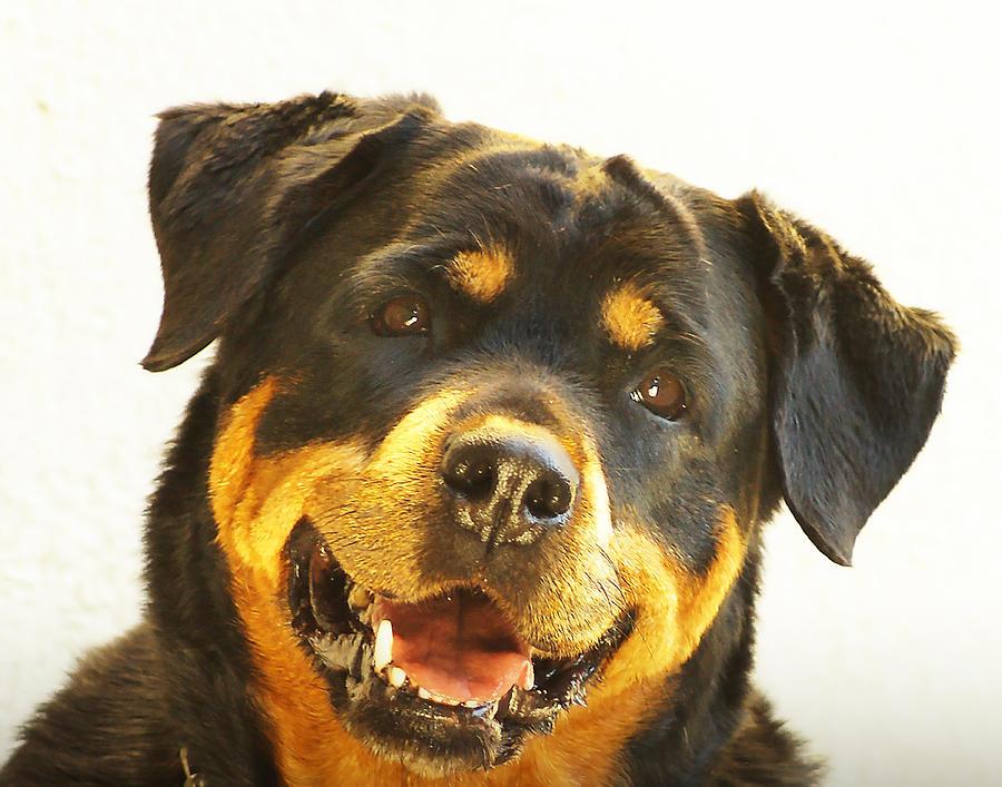 Rottweiler Dog by Dave Byrne