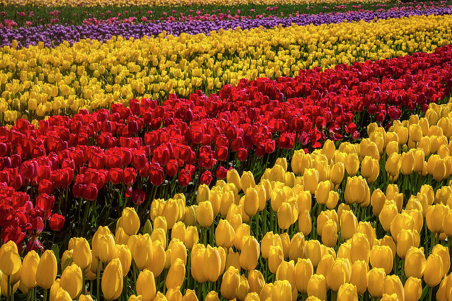 Tulip Photograph - Row After Row After Row Of Tulips by Garry Gay