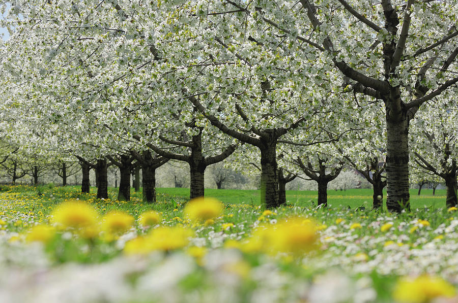 Row Of Cherry Trees In Blossom At A Photograph by Martin Ruegner
