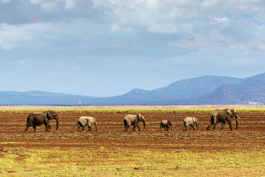 Row of Elephants Walking in Dried Lake by Susan Schmitz