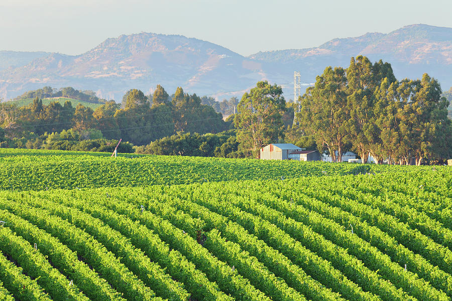 Rows Of A Vineyard Landscape In Bright Photograph by S. Greg Panosian
