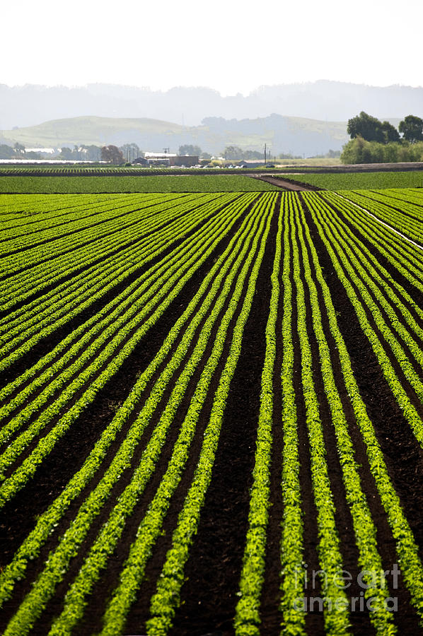 Commercial Photograph - Rows Of Freshly Planted Lettuce In The by Dwight Smith