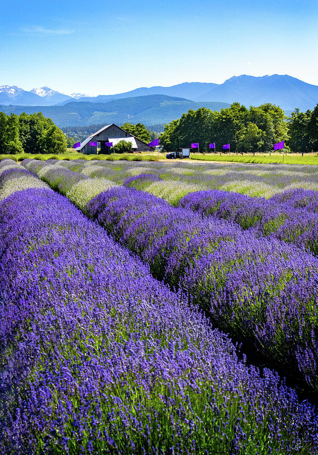 Rows of Lavender by Carolyn Derstine