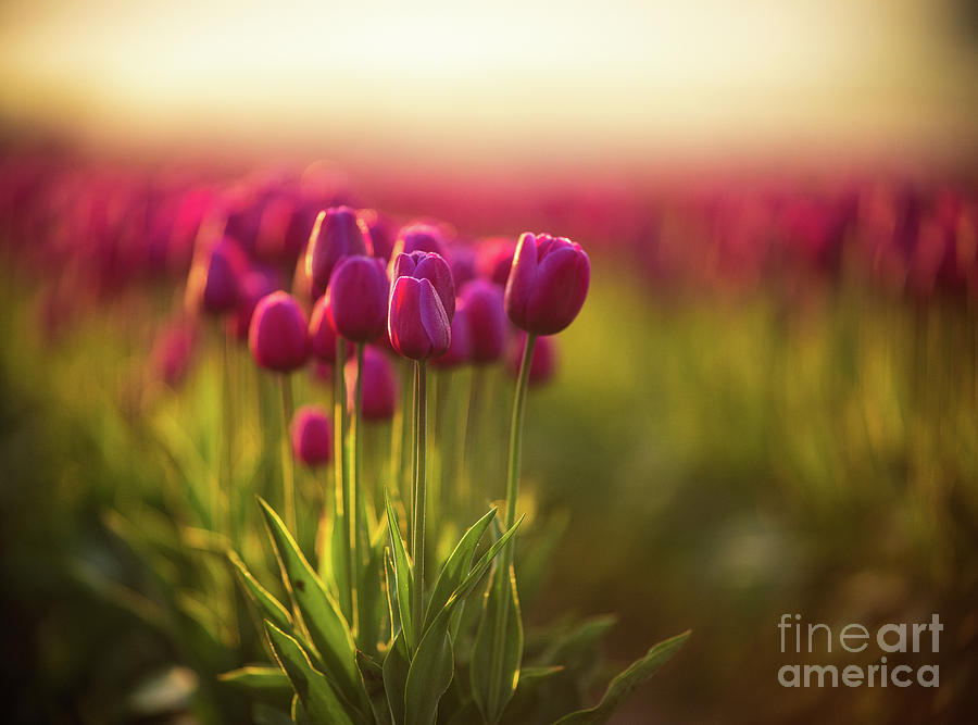 Skagit Photograph - Rows Of Magenta Painterly Tulips by Mike Reid