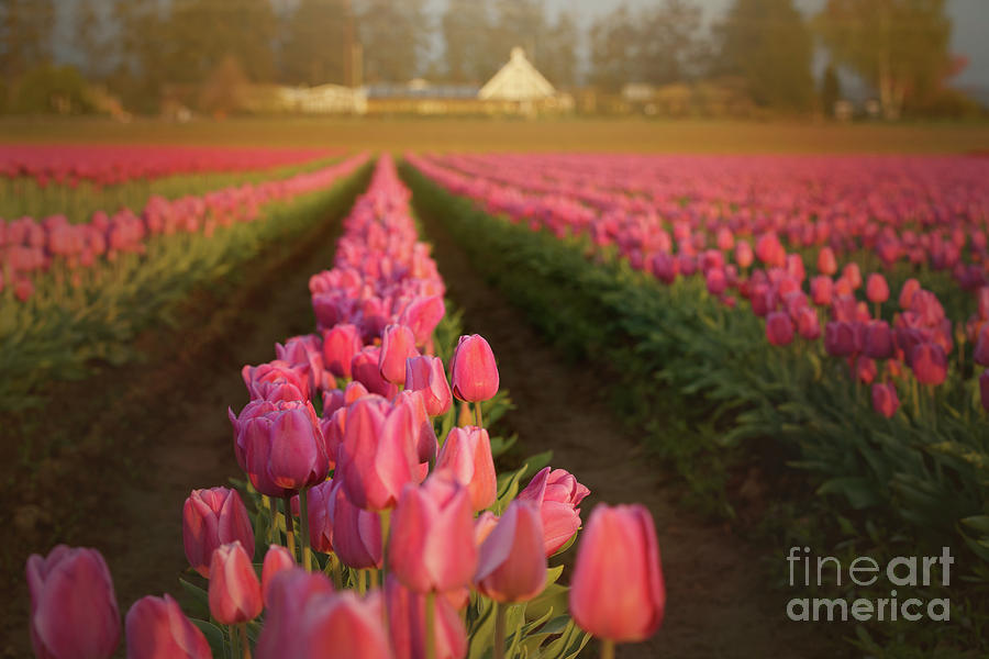 Rows of Pink Impression by Beve Brown-Clark Photography