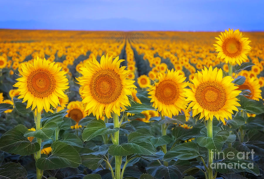 Rows of Sunflowers at Dawn by Ronda Kimbrow