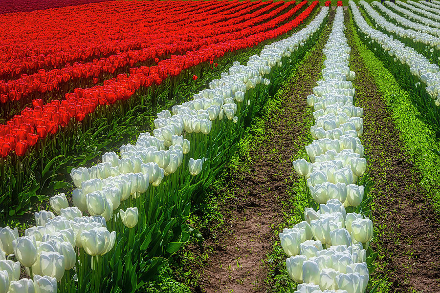 Tulip Photograph - Rows Of White And Red Tulips by Garry Gay