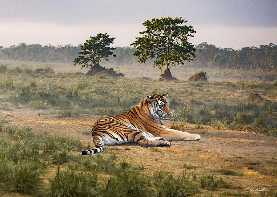 Royal Bengal Tiger Of Nepal by M Spadecaller