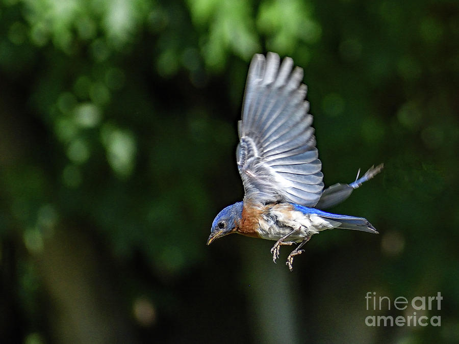Eastern Bluebird In Flight Photograph