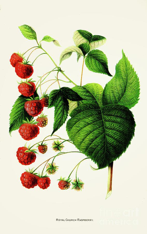 Royal Raspberry Illustration 1892 Digital Art by Thepalmer