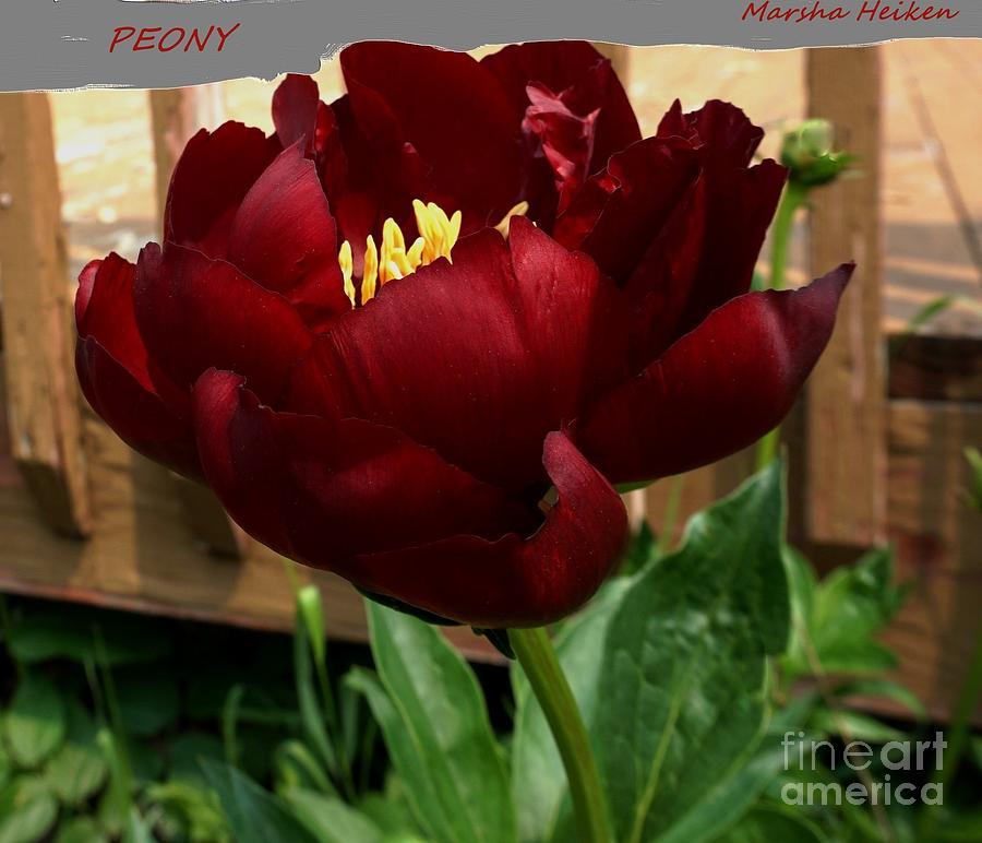Photo Photograph - Royal Red Peony by Marsha Heiken