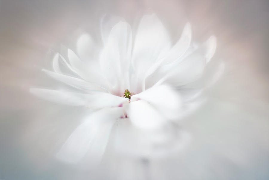 Royal star Magnolia by Usha Peddamatham