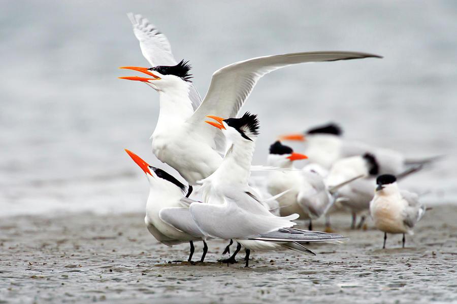 Royal Tern Sterna Maxima Courtship Photograph by Danita Delimont