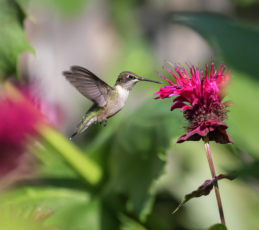 Ruby-throated Hummingbird 2019-1 by Thomas Young