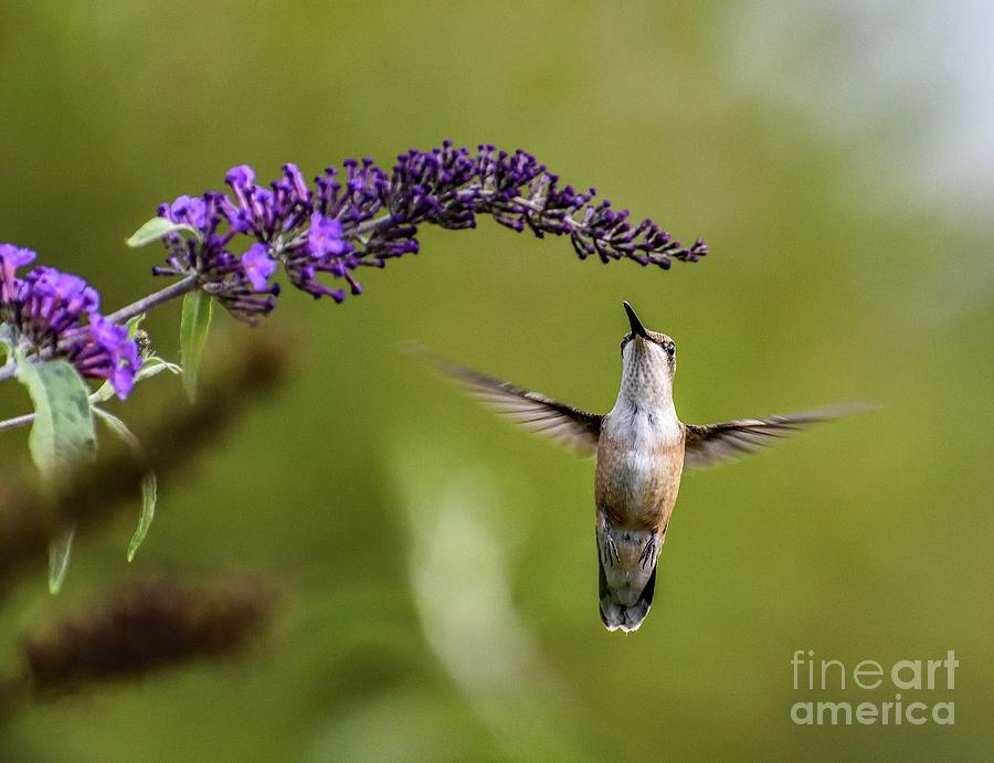 Ruby-throated Hummingbird And The Butterfly Bush by Cindy Treger