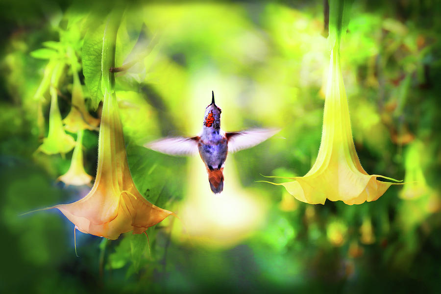 Ruby Throated Hummingbird and Yellow Datura by Diana Haronis