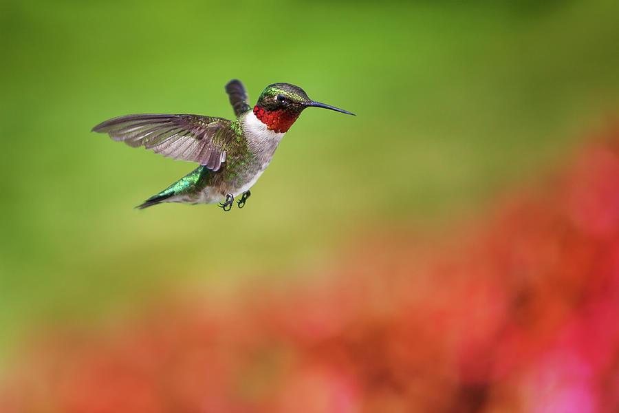 Ruby Throated Hummingbird Photograph by Cglade