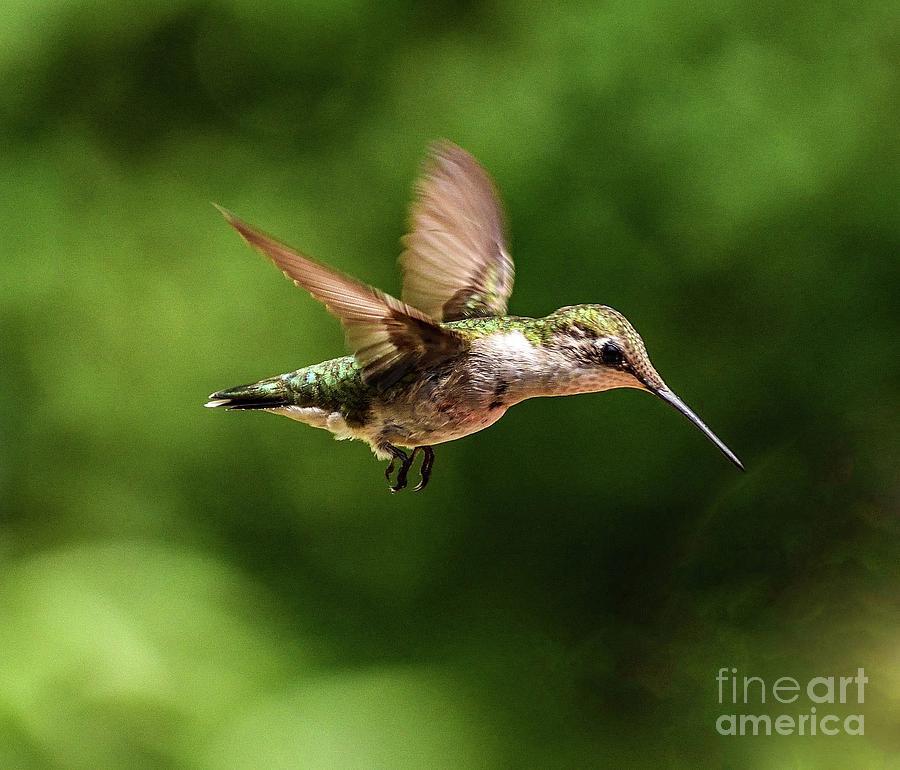 Ruby-throated Hummingbird Cruisin Along by Cindy Treger