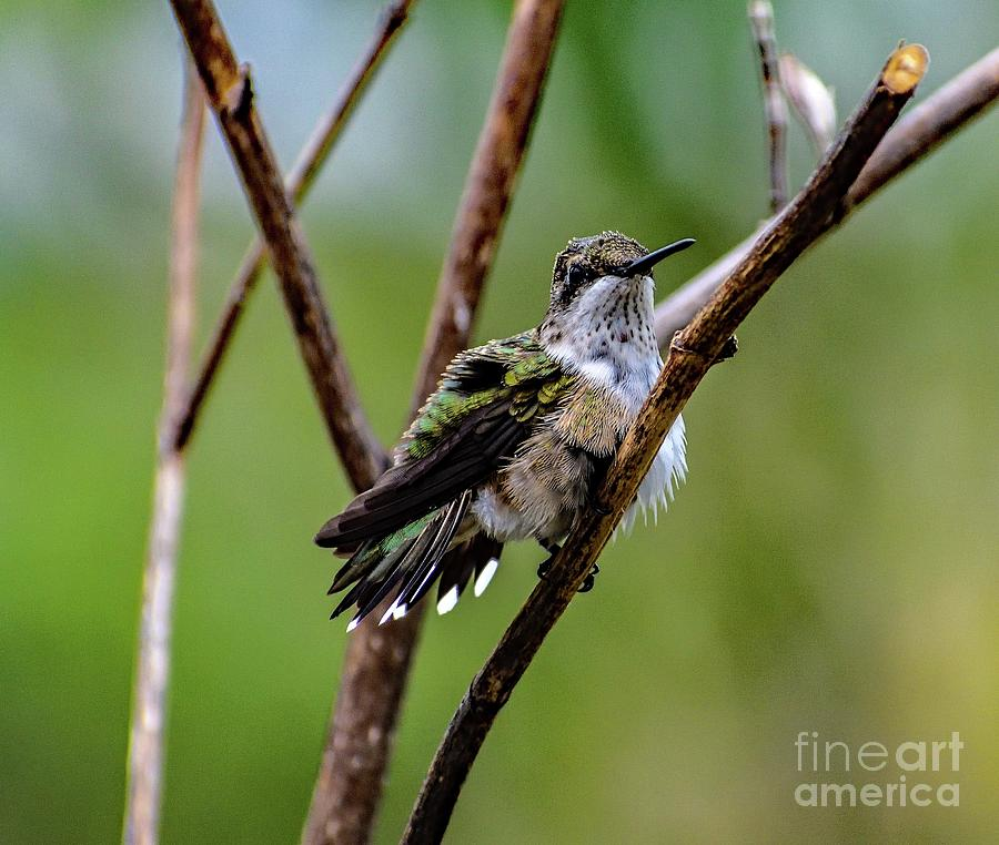 Ruby-throated Hummingbird Drying His Feathers by Cindy Treger