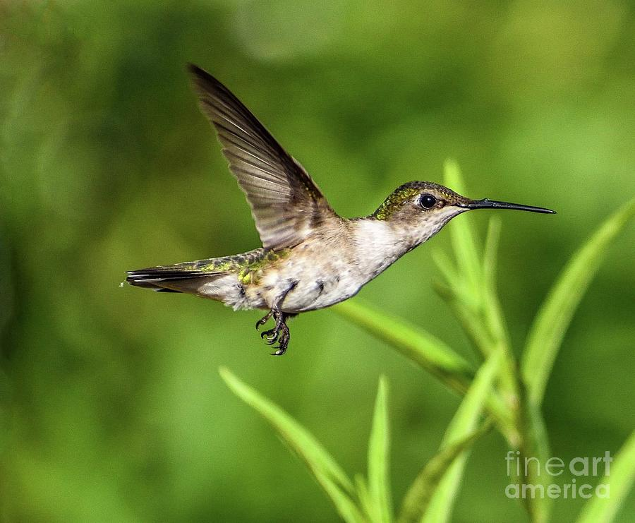Ruby-throated Hummingbird Flyby  by Cindy Treger