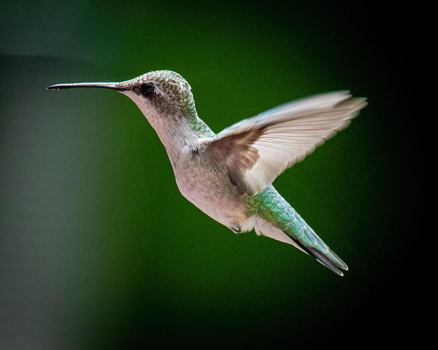Ruby-Throated Hummingbird by Guy Coniglio