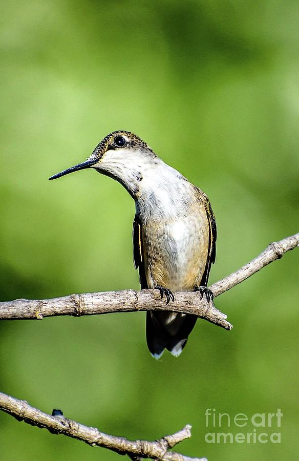 Ruby-throated Hummingbird With A Cute Head Tilt by Cindy Treger