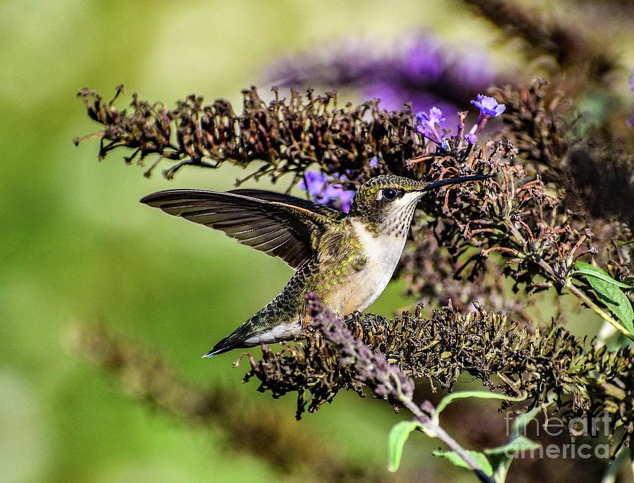 Ruby-throated Hummingbird With Wings Up Photograph