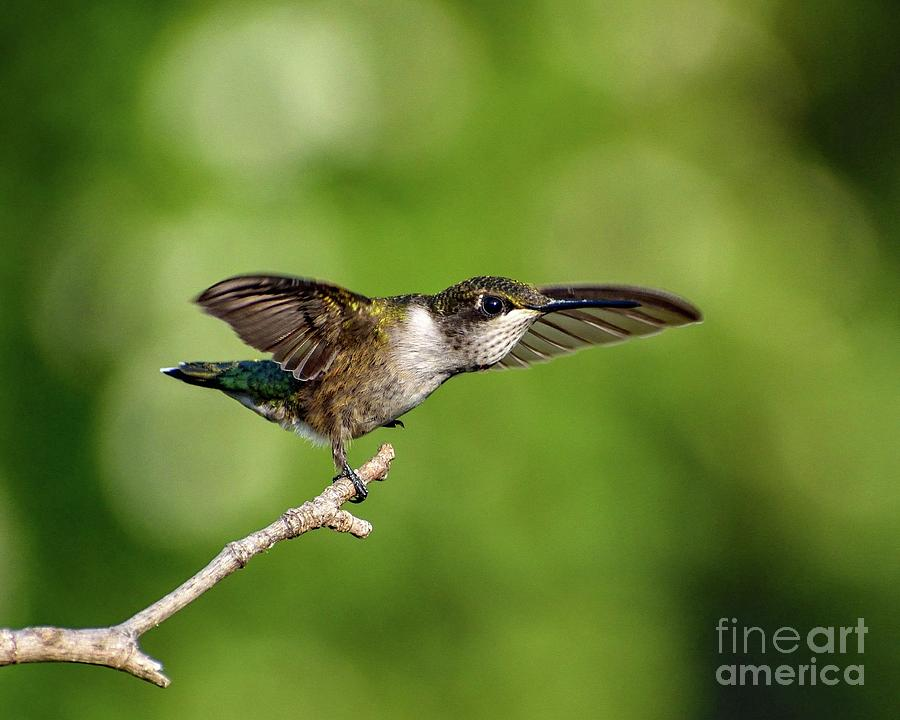 Ruby-throated Hummingbirds Are Just The Cutest by Cindy Treger