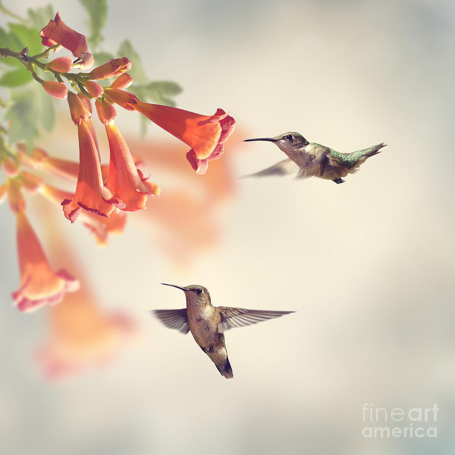 Floral Photograph - Ruby Throated Hummingbirds Hover by Svetlana Foote