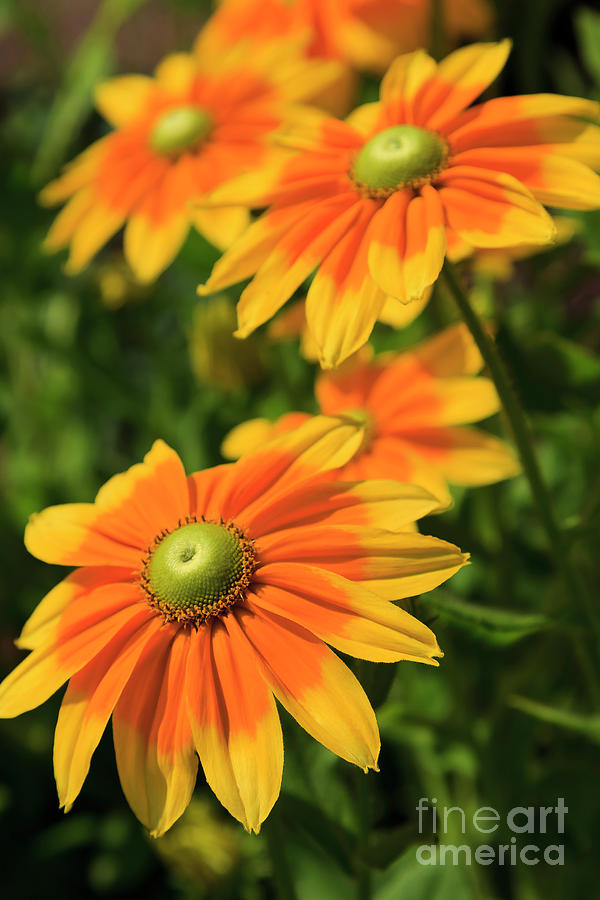 Rudbeckia Flowers by Jill Lang