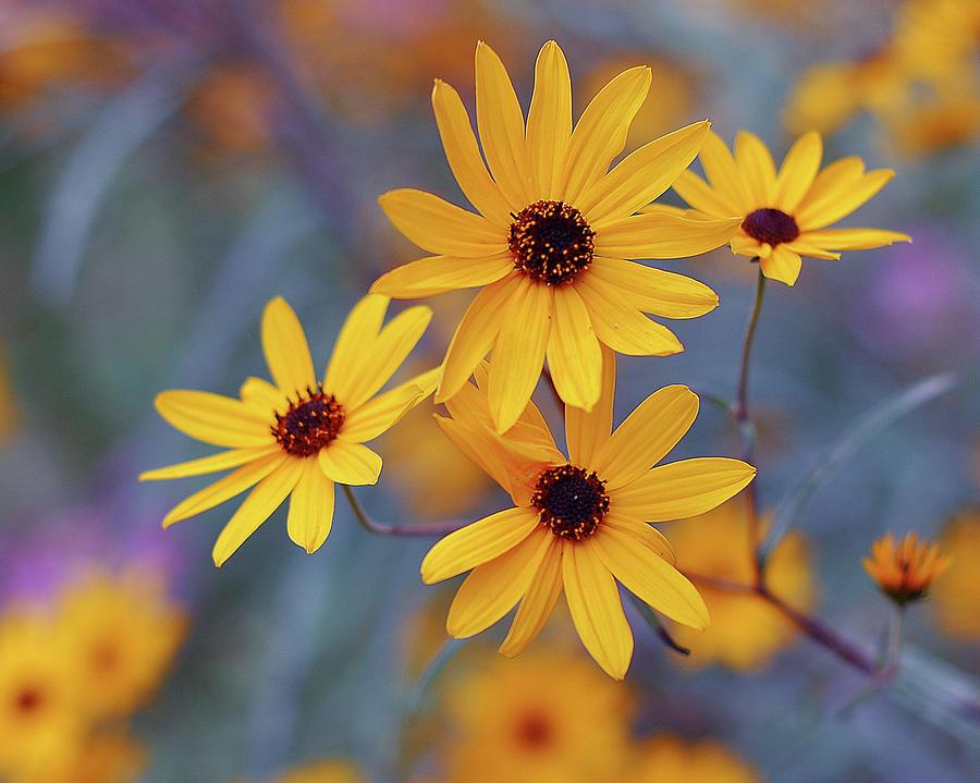 Rudbeckia Flowers Photograph by Natalia Ganelin
