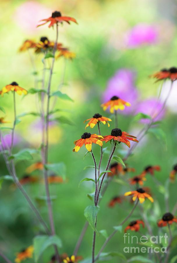 Rudbeckia Triloba Prairie Glow Flowers in an English Garden by Tim Gainey