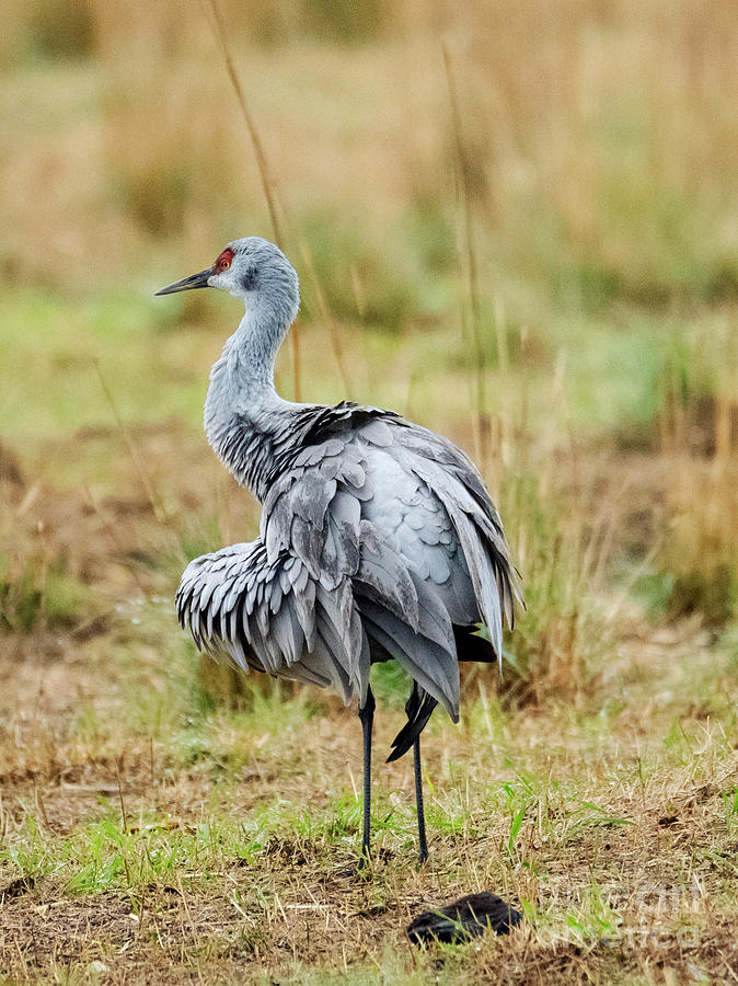 Sandhill Crane Photograph - Ruffled Crane by Mike Dawson