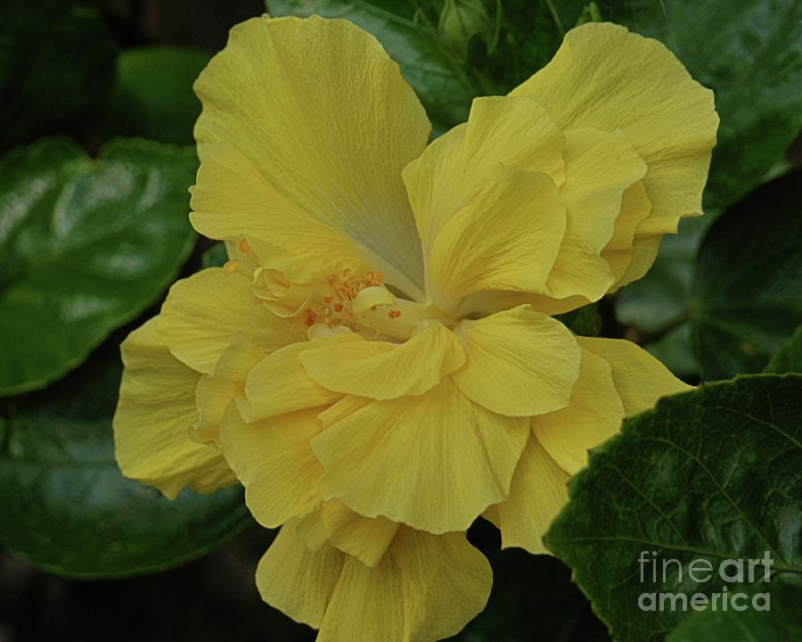 Ruffled Yellow Hibiscus by Patricia Strand