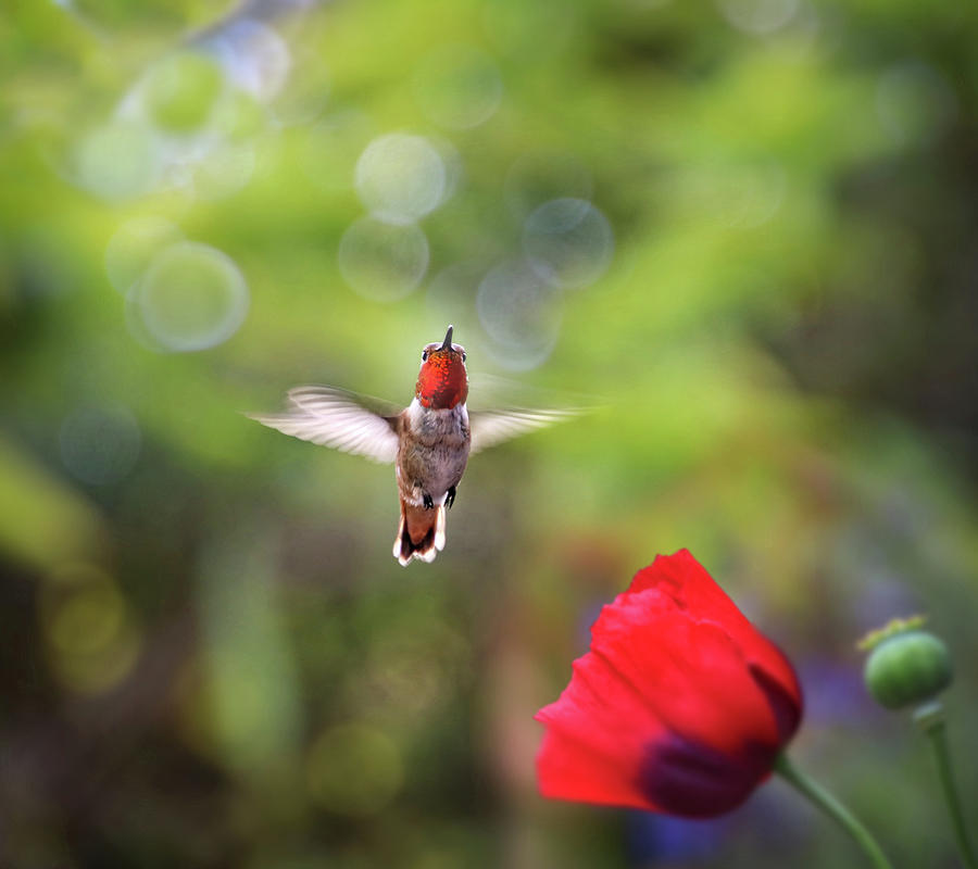 Rufous Hummingbird and Red Poppy by Diana Haronis