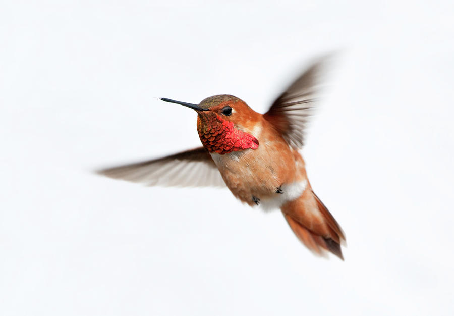 Rufous Hummingbird Male - White Photograph by Birdimages
