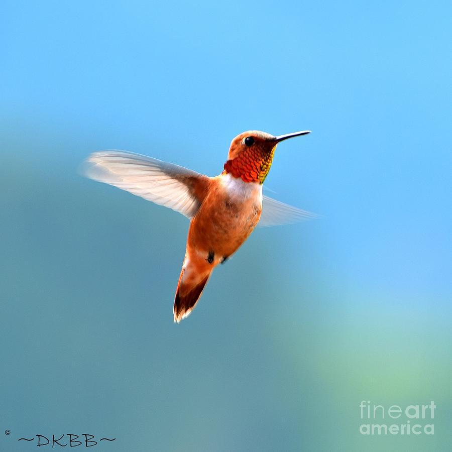 Rufous in Flight by Dorrene BrownButterfield