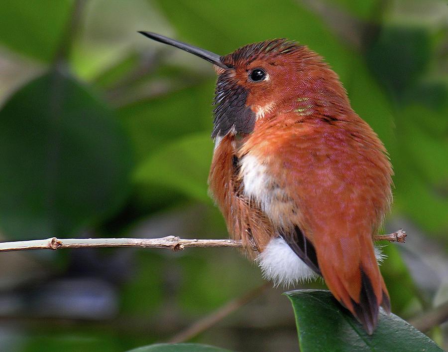 Rufus Hummingbird by Betty Denise