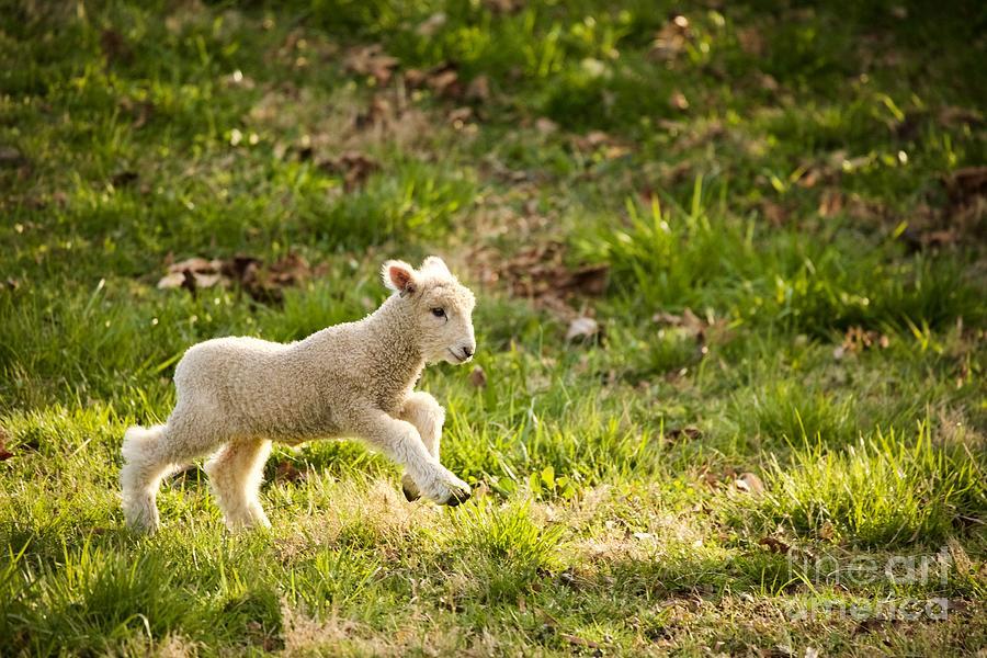 Running Lamb by Lara Morrison