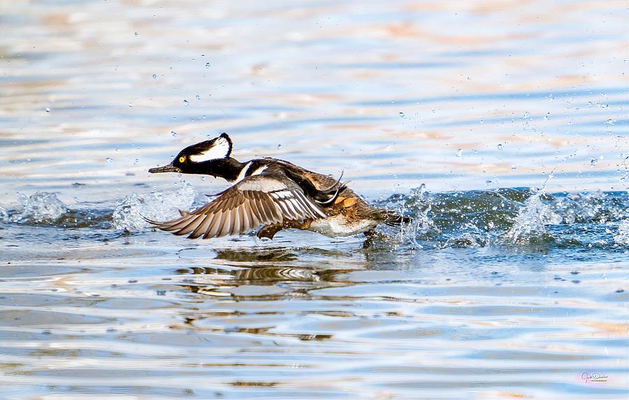 Running take off -- Hooded Merganser by Judi Dressler
