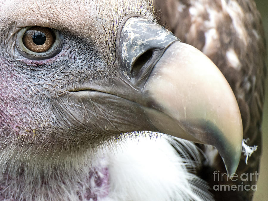 Ruppells Griffon Vulture by Eyeshine Photography