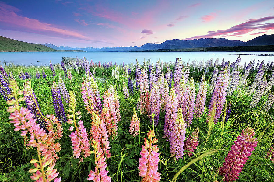 Russel Lupines At Lake Tekapo Photograph by Atomiczen