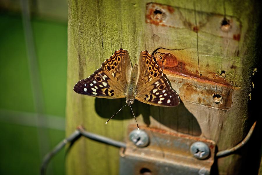 Rustic Butterfly by John Benedict