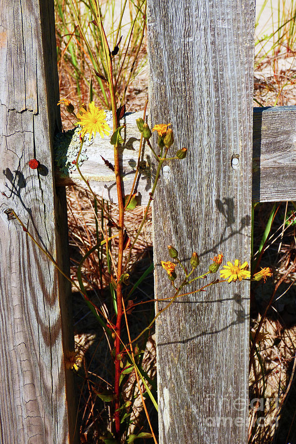 Rustic Fence And Wildflowers 300 Photograph