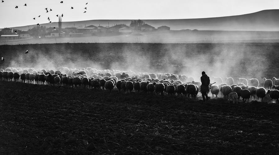 Sheep Photograph - Rustic Life by Yavuz Pancareken