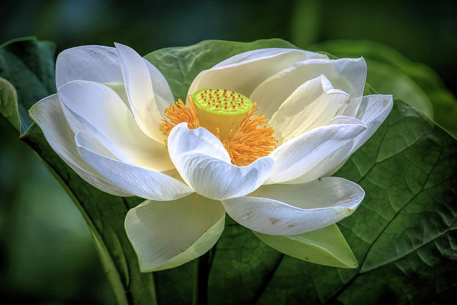 Sacred Lotus In The Spot Light Photograph